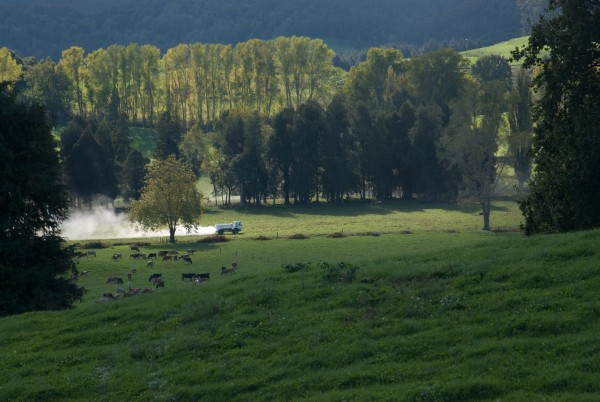 The Te Kuiti area has 690 farms, most of them sheep and beef, and fertility is maintained by spreading super- phosphate and lime.