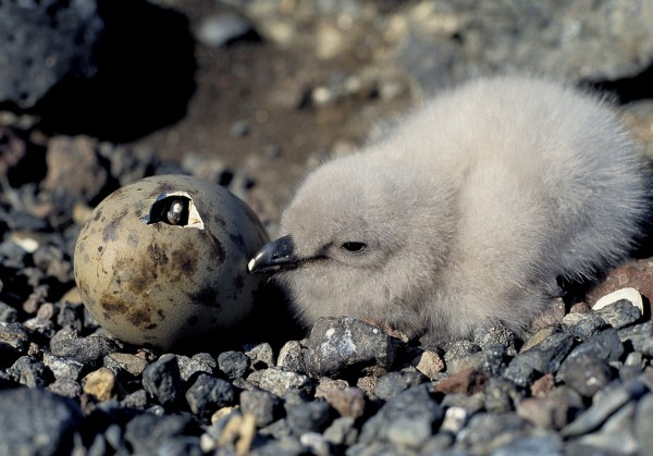 Skuas are strong, aggressive birds and a stout stick helps prevent injury when in the vicinity of nests, as here on the Chathams. Among south polar skuas, aggression starts early. This chick will likely kill or chase off its younger sibling within a day or two of it hatching