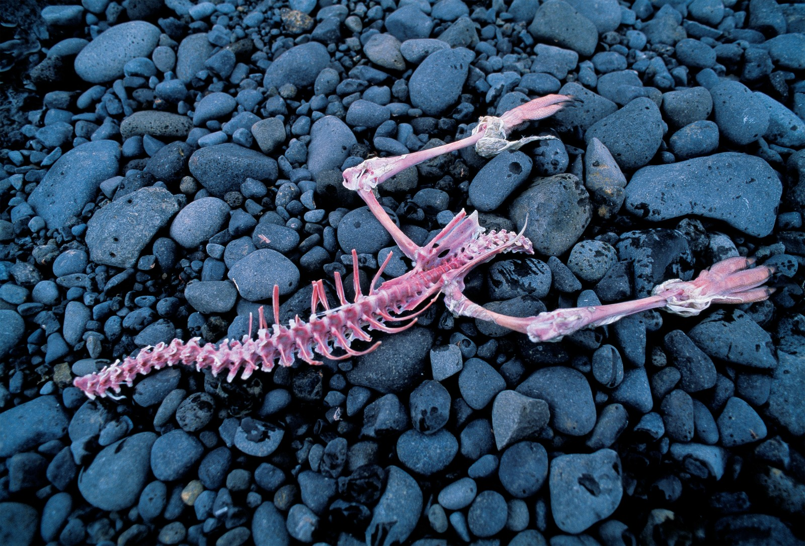 Not a lot of meat remains on this Adélie penguin skeleton after the skuas have finished with it.