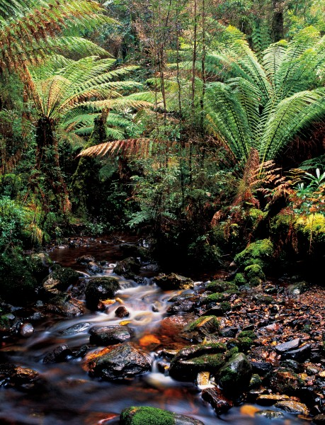 A tannin-stained rivulet trickling through groves of tree fern could be Anywhere, New Zealand, but this is Guthrie Creek, in the Tarkine.