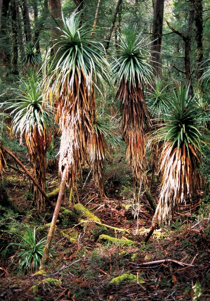 Pandani trees, relatives of New Zealand's Dracophyllum, are a common element of Tasmanian rainforest, as here, in Pine Valley, near the famous Overland Track.