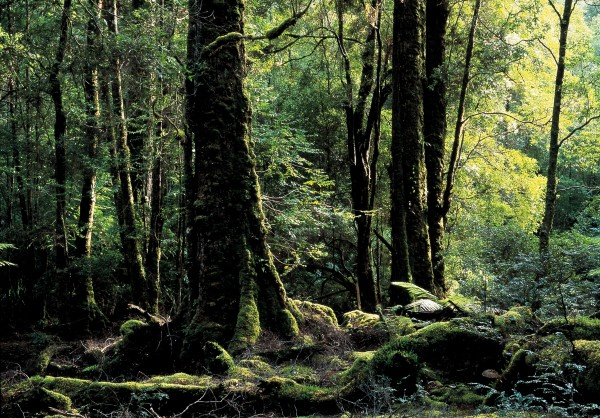 Tasmania's beeches—termed myrtles locally—are true relics of Gondwana, whereas New Zealand's ancient beeches died out and were replaced by new stock about 35 million years ago.