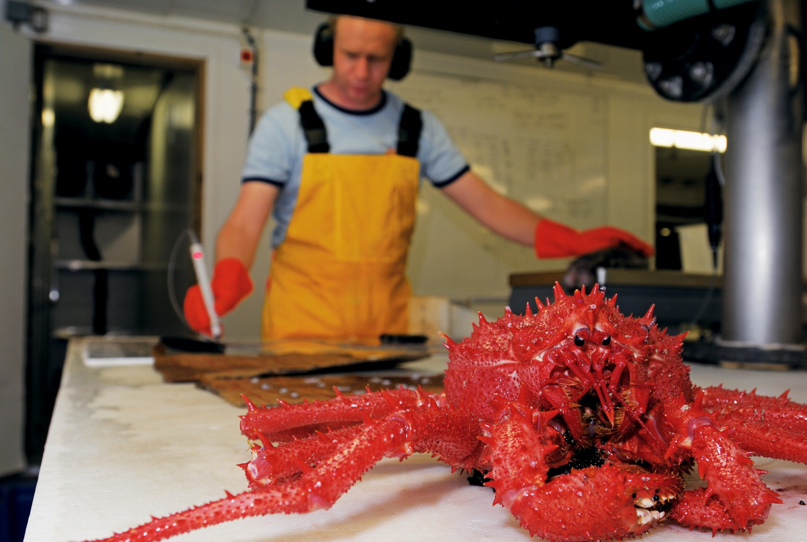 NIWA scientist Matt Dunn examines Brodie's king crab. These creatures are decapods (10 legs), with the last pair hidden beneath the rear of the carapace which grows as wide as 18 cm.