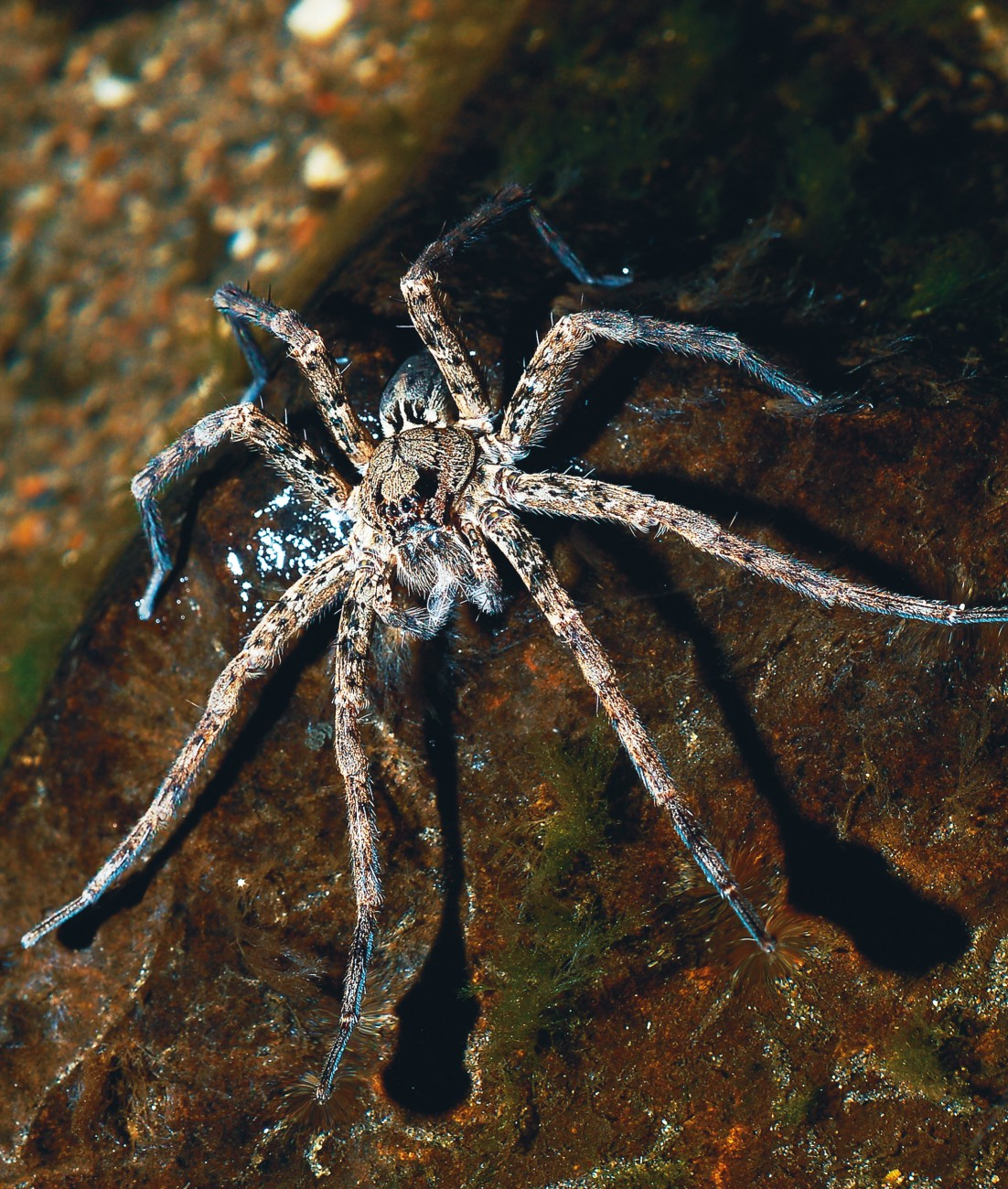 A typical Dolomedes fishing pose has front legs on the water surface while the rear legs anchor her to the bank. New Zealand species mainly eat aquatic insects but will also take fish rarely, while overseas species catch tadpoles and even adult frogs.
