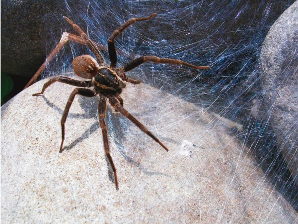 When the spiderlings are ready to leave the eggsac she spins a dense silk nursery web between riverbank rocks, like this D. minor, which she guards until the spiderlings are ready to chew their way out and disperse.