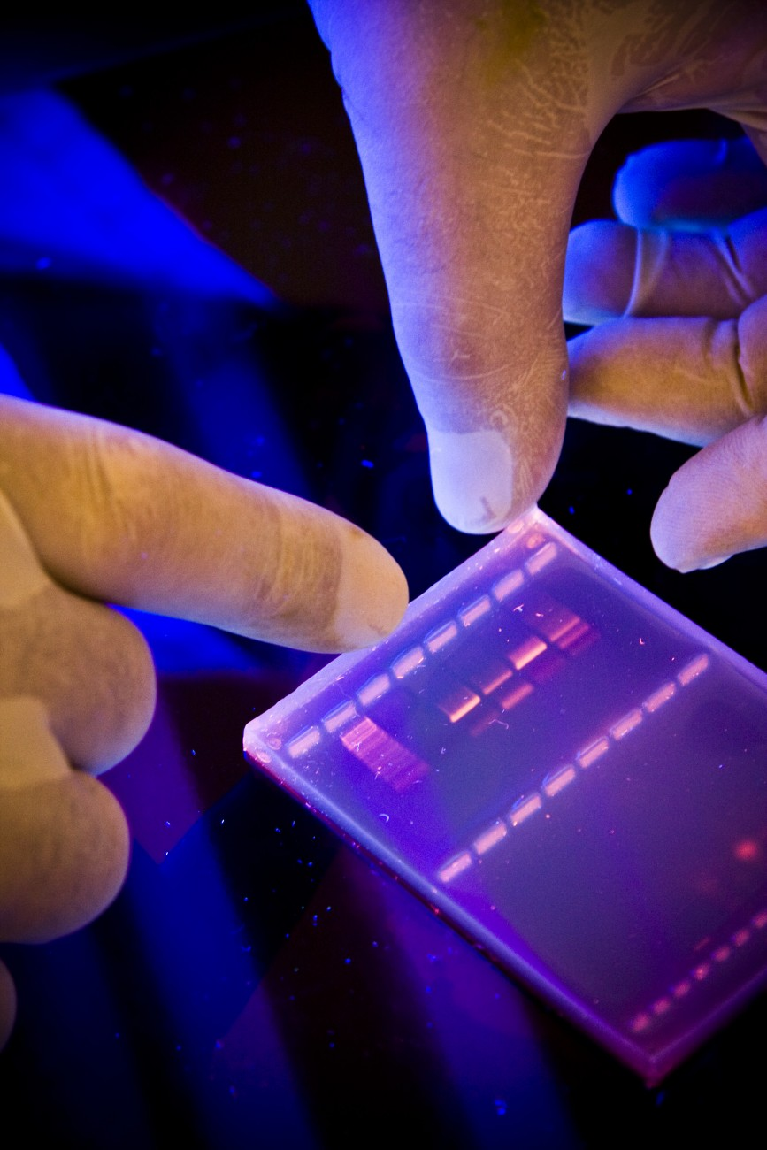 Amplified mitochondrial DNA is checked by gel electrophoresis, purified and sent to Massey's Palmerston North labs for sequencing to determine the order of the nucleotide bases.