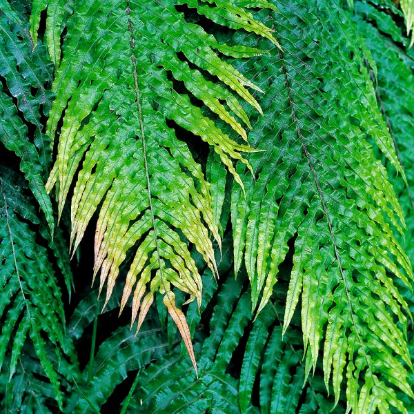 Although kiokio, Blechnum novae-zelandiae, is one of our commonest ferns even becoming a weed at times, it was given a proper scientific name only within the last decade. Young opening fronds or fiddleheads from this species are quite palatable.