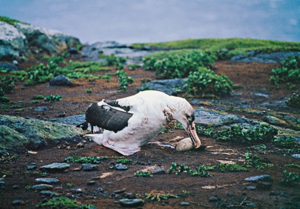 Storms pose a considerable hazard to breeding albatrosses, most of which nest on high-latitude islands wracked by gales. In the wake of a storm in the early 1990s, photographer Kim Westerskov snapped this bedraggled northern royal albatross parent trying to rescue its egg on the Sisters, another albatross island in the Chathams group.