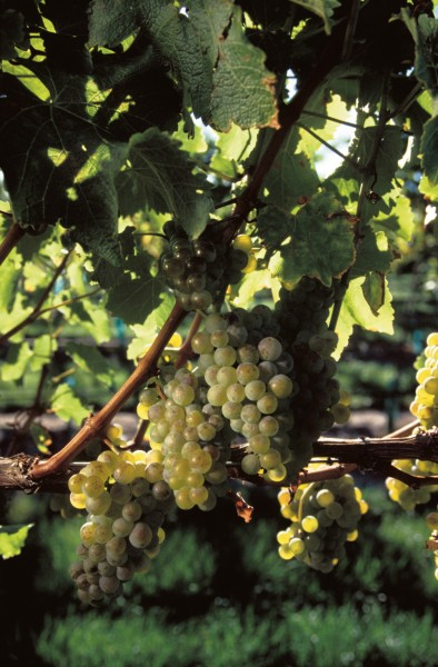 Sauvignon Blanc grapes at Shingle Peak, Marlborough