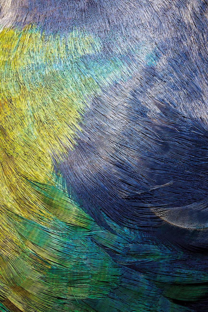"""Despite their iridescent plumage, takahe are well camouflaged within the patchwork of light and shadow that is their tussock habitat. """"You'd think you would see them well, green-blue against yellow, especially with that big red beak of theirs,"""" says ranger Martin Genet, """"but they can just tuck the beak away and disappear before your eyes. It's quite a vanishing trick."""""""