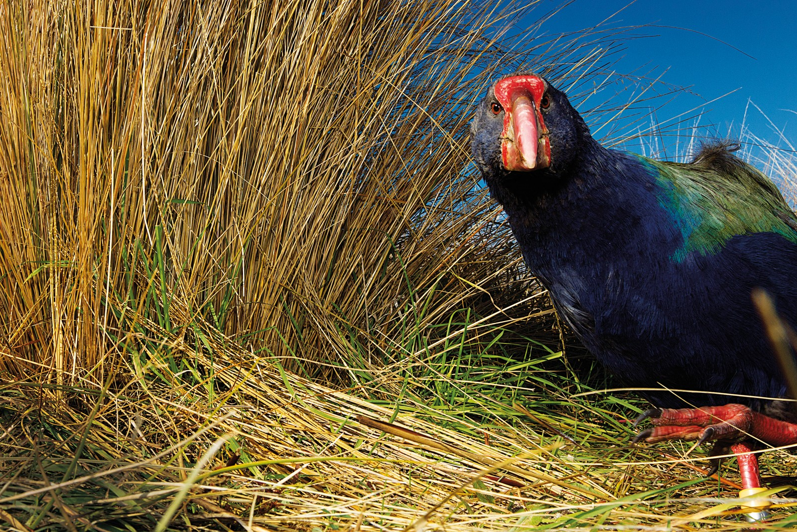 Closely-cropped tussock tillers, arranged in neat bunches like pick-up sticks, are a telltale sign of a feeding takahe. In the Murchison Mountains the birds favour the tussock above all other food sources, and head into high-alpine pastures as soon as winter snow melts above the bushline.