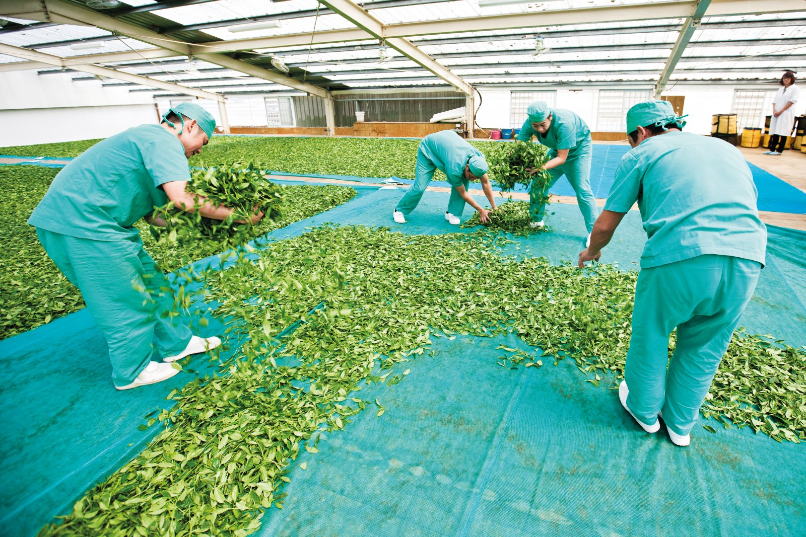 Transforming fresh tea leaves into fine tea requires a lot of manual labour. After the leaves are hand-picked, they are spread out in a thin layer in a drying room to wilt. To guarantee a uniform level of wilting, the leaves must be gathered and re-distributed up to six times before they can be rolled and packed for distribution. The hospital-style scrubs are part of a hygiene programme that has allowed local manufacturer Zealong to become the world's first ISO-certified producer.