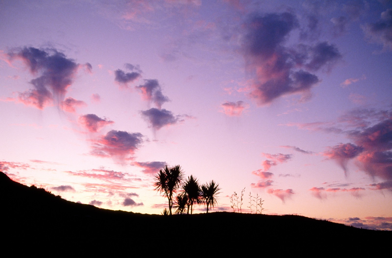 Cabbage trees and flax flowers silhouetted on the hillside above Spirit Bay at sunset.