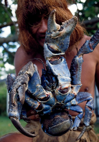 As well as climbing trees, Piri introduces tourists to traditional Cook Island ways, including cuisine. One of the many delicacies is coconut crab. These lobster-like crustaceans scale coconut palms and break into the nuts with their strong nippers.