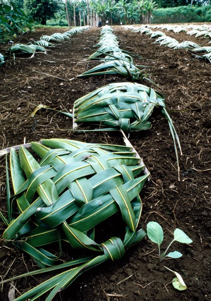 Protected from the searing tropical sun by individual coconut frond shade houses, young cabbages are growing healthily in Mauke's rich volcanic soil.