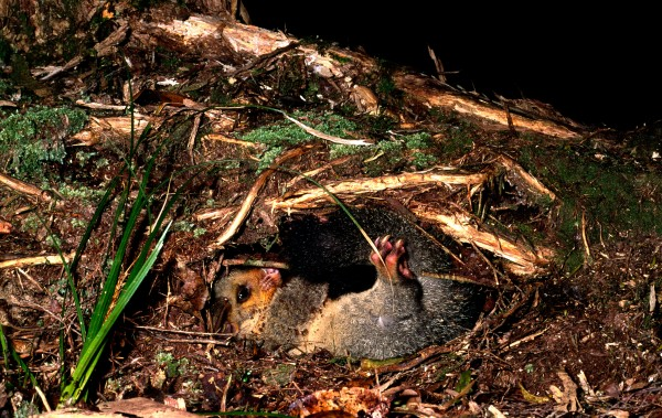 During the day, possums sleep in dens—in thickets of gorse, flax and scrub, among the roots of trees, in dead trunks and logs, in the burrows of other animals (such as kiwi) and even in the ceilings of buildings.