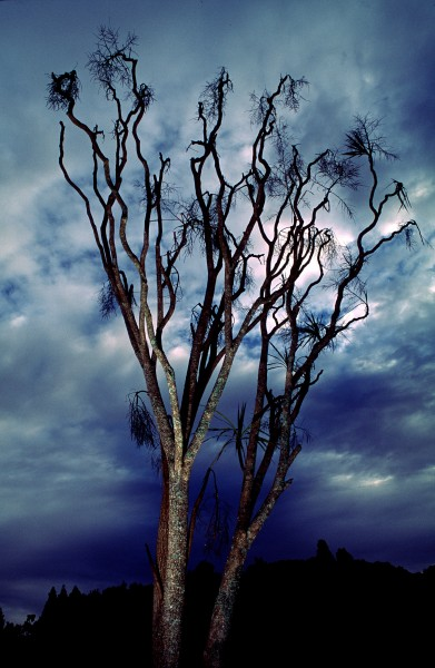 Elegant even in death, a cabbage tree bares its leafless branches and spent flower heads to the sky.