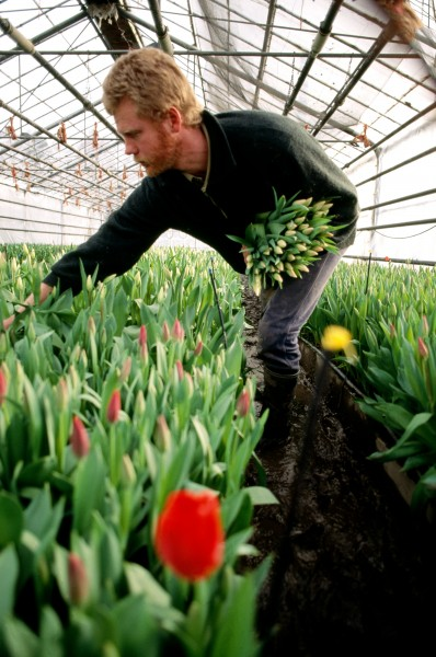 Ray Conijn's father Cor looked on a map to find which part of New Zealand had climate characteristics most suited to the growing of tulips. He settled on Balclutha, and now, after 41 years in the country, he and Ray supply cut tulips and bulbs to the entire country. Ray enjoys the challenge of growing difficult varieties. Here he picks elegant pink buds, but the family farm also grows the more conventional reds and yellow.
