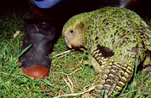 "Because Hoki has been hand-reared she is the first kakapo to be comfortable in close proximity to humans. Says Don Merton, ""We can watch her at close quarters and handle her without causing stress. She therefore provides opportunities for study which we have never had before. But, since she was raised to five weeks by kakapo on Codfish Island and was subsequently in the company of the other two chicks, her level of imprinting on humans is unlikely to compromise her ability to breed."""