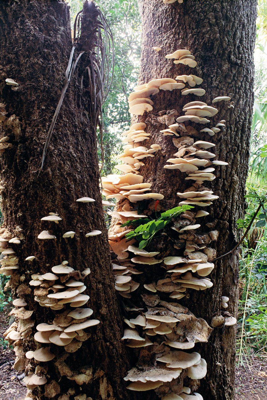 Trying to grow overseas species in New Zealand, scientists are looking potentially edible indigenous species. A white oyster mushroom which grows on dead cabbage trees has proved to be a tasty mushroom, but whether it has a commercial future remains to be seen.