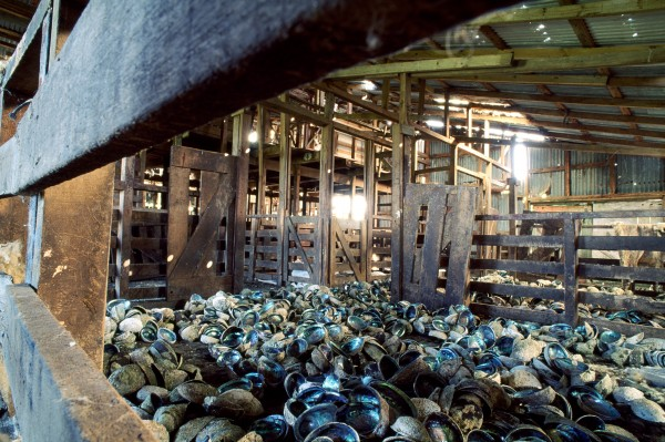 A woolshed full of empty paua shells tells the story of another high-earning export. Five good-sized paua can return $100 in Japan, and even the shells are money-spinners, with up to 30 tonnes a month shipped to supply the jewellery trade.