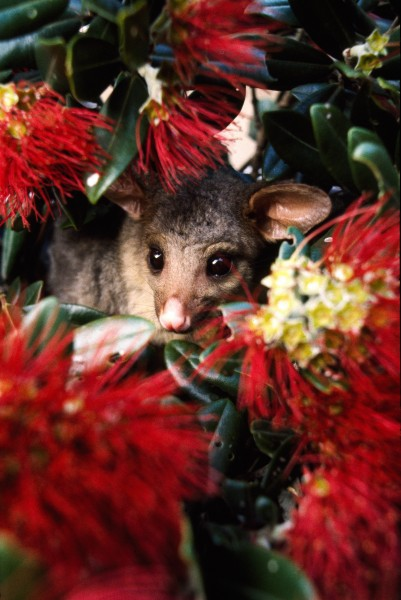 Cute but lethal, possums have a particular fondness for the leaves and buds of pohutukawa which eventually results in the deaths of even large trees. Pohutukawa on Cape Brett, in the Bay ofIslands, have been particularly hard hit (opposite), and a possum-proof fence is now being erected across the peninsula. While it won't help the dead trees, new plantings and seedlings should benefit once possums have been eradicated from the area.