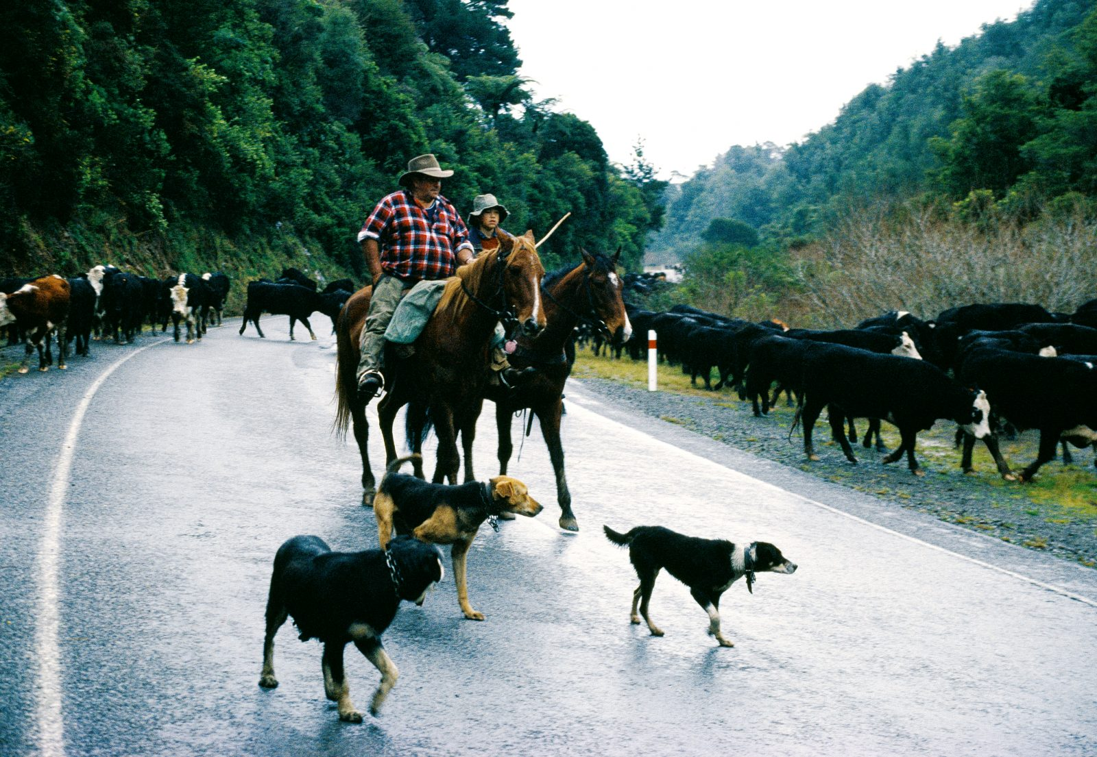 """This'll probably be young Luke's first and last taste of the drover's life,"" says Ron Brown as he and his sidekick Luke Abbot herd cattle along Highway 35 near Opotiki. Mobs of up to 500 cattle used to be common on the Coast as drovers, averaging 6-7 km a day and renting night paddocks from farmers along the way, took stock to Waikato and South Auckland for slaughtering. The practice may soon be outlawed as traffic counts rise and the number of logging trucks increases. But with an estimated 2.5 million sheep and 350,000 cattle, the region still enjoys the reputation of having the highest intensity of beef cattle in the country."