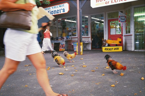 A flock of free-range chooks has the run of the old Albany Village, adding rural flavour to the caryards and small shopping centre. Unlikely to be welcome in the extensive new malls and superstores up the road, the birds could become a key ingredient in the village's quest to survive with its own distinctive identity.