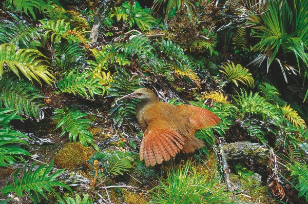 Despite colours that generally camouflage their presence, sooner or later most flightless birds become visible, and therefore vulnerable, to predators. Their fate is then virtually sealed and they rapidly become endangered, if not completely extinct. Despite careful management of the 50 or so surviving kakapo (below), only a handful of chicks have been produced in the last decade. Efforts to preserve the Lord Howe rail (above) have been more successful, and numbers have increased from 30 in 1980 to 200 today. This bird, related to the New Zealand weka, was unable to deal with introduced predators, and its population has recovered only through intense captive breeding.