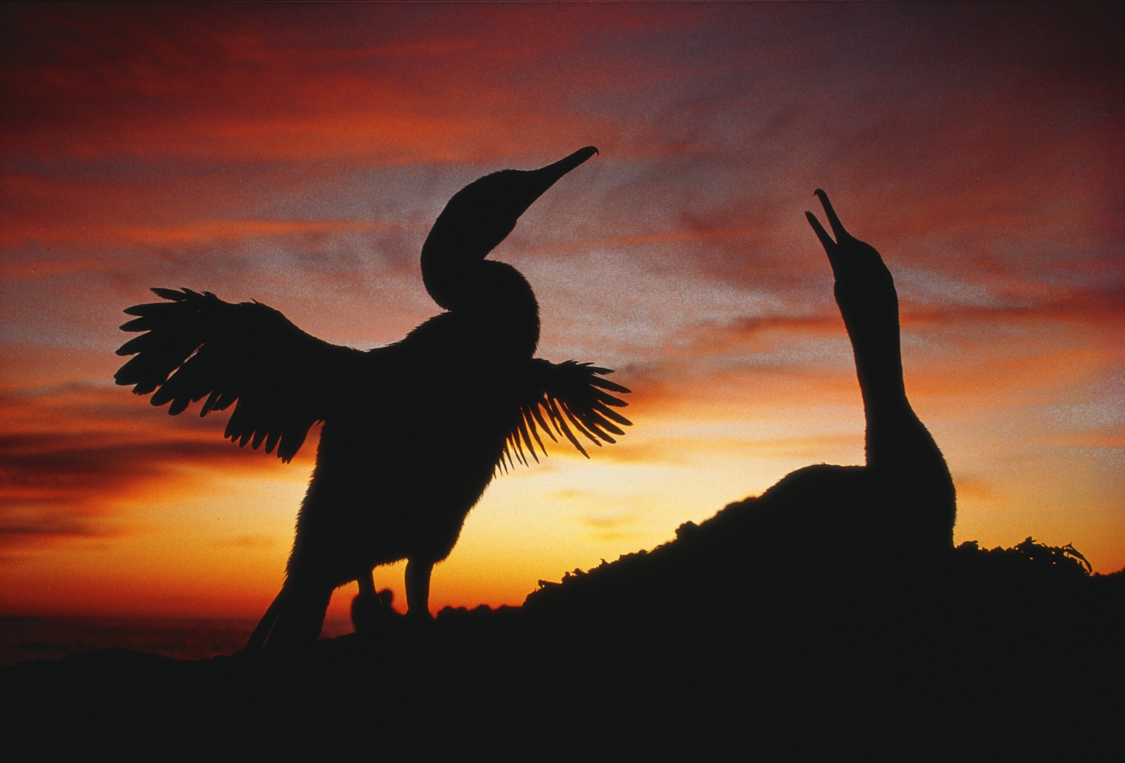 Like many flightless birds, the Galapagos cormorant seems to be holding on—just. Dogs attack them, fishing in the area threatens their food supply and fishing equipment entangles them. Do they yearn that those vestigial wings could again transport them to richer, safer domains?