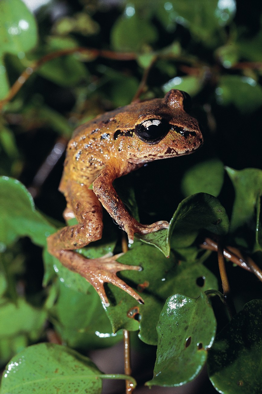 New Zealand's native frogs are found in humid, but not watery, environments. Two species from the Marlborough Sounds-the newly discovered Leiopelma pakeka from Maud Island (below) and the very rare Leiopelma hamiltoni from Stephens Island-spend their days under rocks, but on damp evenings crawl out on to low vegetation to lie in wait for prey.