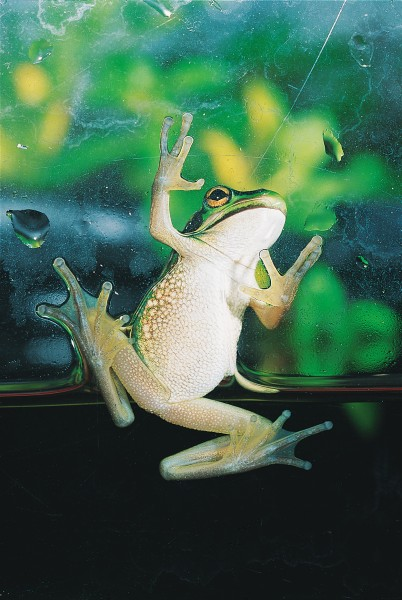 Enlarged pads on the toes of many frogs enable the animals to climb well, and not even glass presents a problem to the green and golden bell frog. Grip is achieved through surface tension: smear detergent on the glass and the frog will lose its traction.