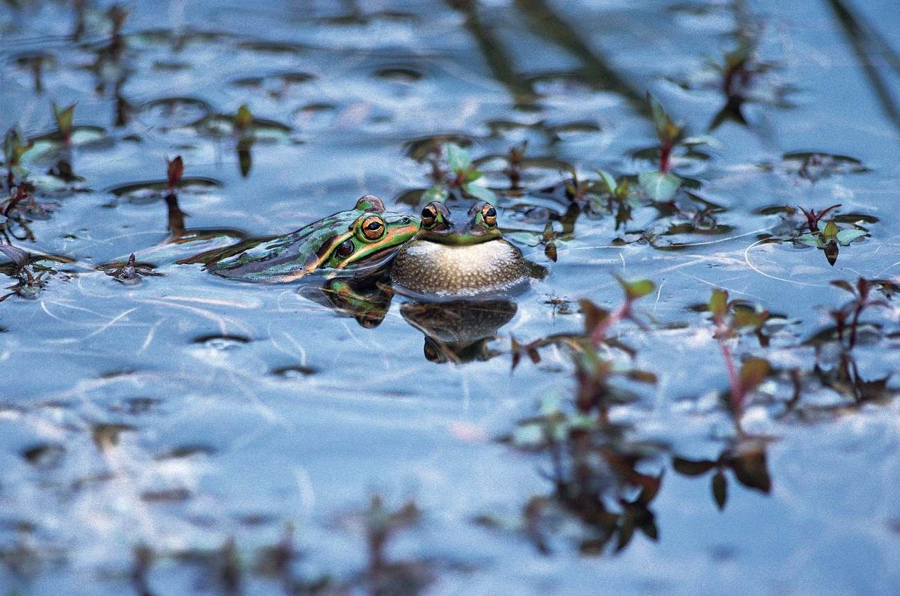the truth about tadpoles and frogs new zealand geographic