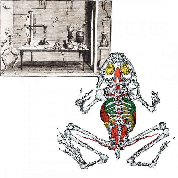 Luigi Galvani's experiments with frogs (left) not only laid the foundations for understanding how the nervous system works, but indirectly led to the invention of the battery. Anatomy students need no longer kill frogs to learn from them: the virtual frog (below) is dissected by mouse, not scalpel.