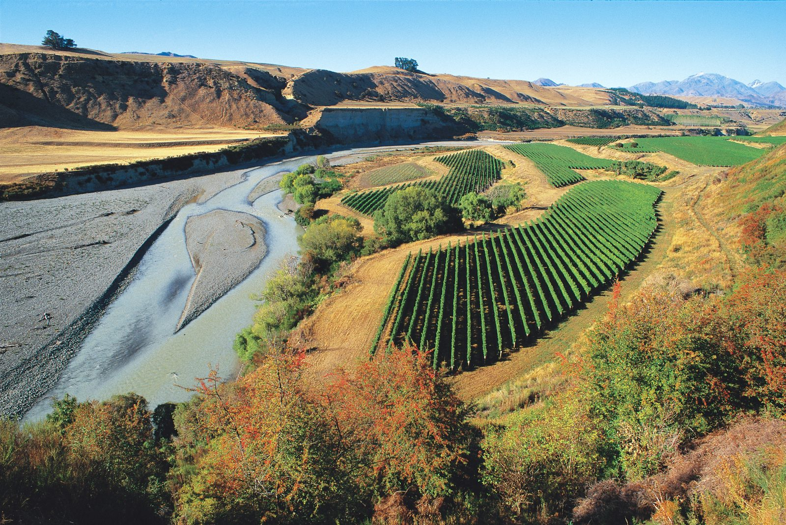 Not all land-based enterprises suffered during the dry summer. Grapevines, such as these in the Awatere valley, flourished in the arid conditions, and viticulturists had no disease worries. Birds, though, perhaps driven by a lack of other sources of moisture and food, mounted a particularly determined assault on the 1998 crop.