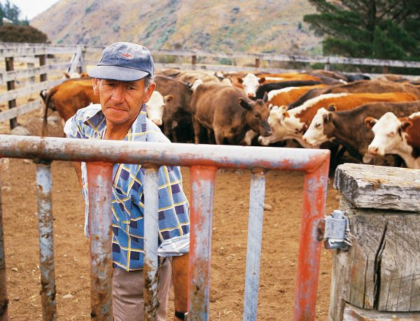 The bad news keeps on coming. Awatere valley farmer Frank Prouting has just learned from the vet that half of his 130 cows are not in calf, and many will have to be culled—casualties of a drought that has seen no spring and summer pasture growth over much of central Marlborough. Lack of feed is probably to blame, reducing ovulation in the herd and keeping bulls preoccupied with the next meal rather than siring the next generation.