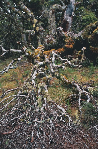 "At Waitutu's higher altitudes the lushness of the forest understorey gives way to a harsher, more open shrubland where stunted mountain beech forms a ""goblin"" forest of contorted tree limbs crusted with growths of lichen."