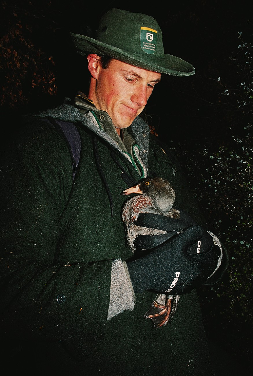 A successful capture. DoC officer Peter Quilliam clutches a blue duck from Apias Creek-part of a study area in the Ruahine Range. Blue duck are mostly active at dawn and dusk, but in places such as the Ruahine Range they have become night birds, synchronising their feeding habits with the activities of nocturnal insects.
