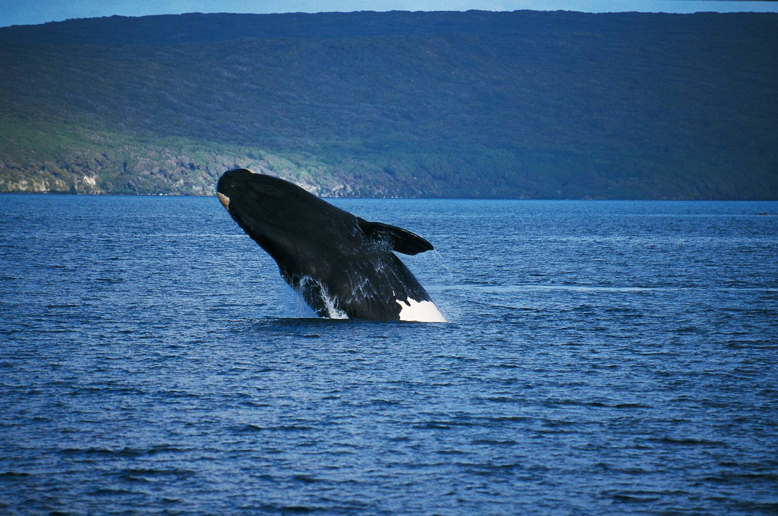 "A right whale rockets out of the sea at Port Ross, in the Auckland Islands. Breaching is just one of the athletic feats performed by the whales as part of their socialising. They also lift their heads vertically out of the water (spy-hopping"") and slap the water with their tail flukes (lob-tailing"")."