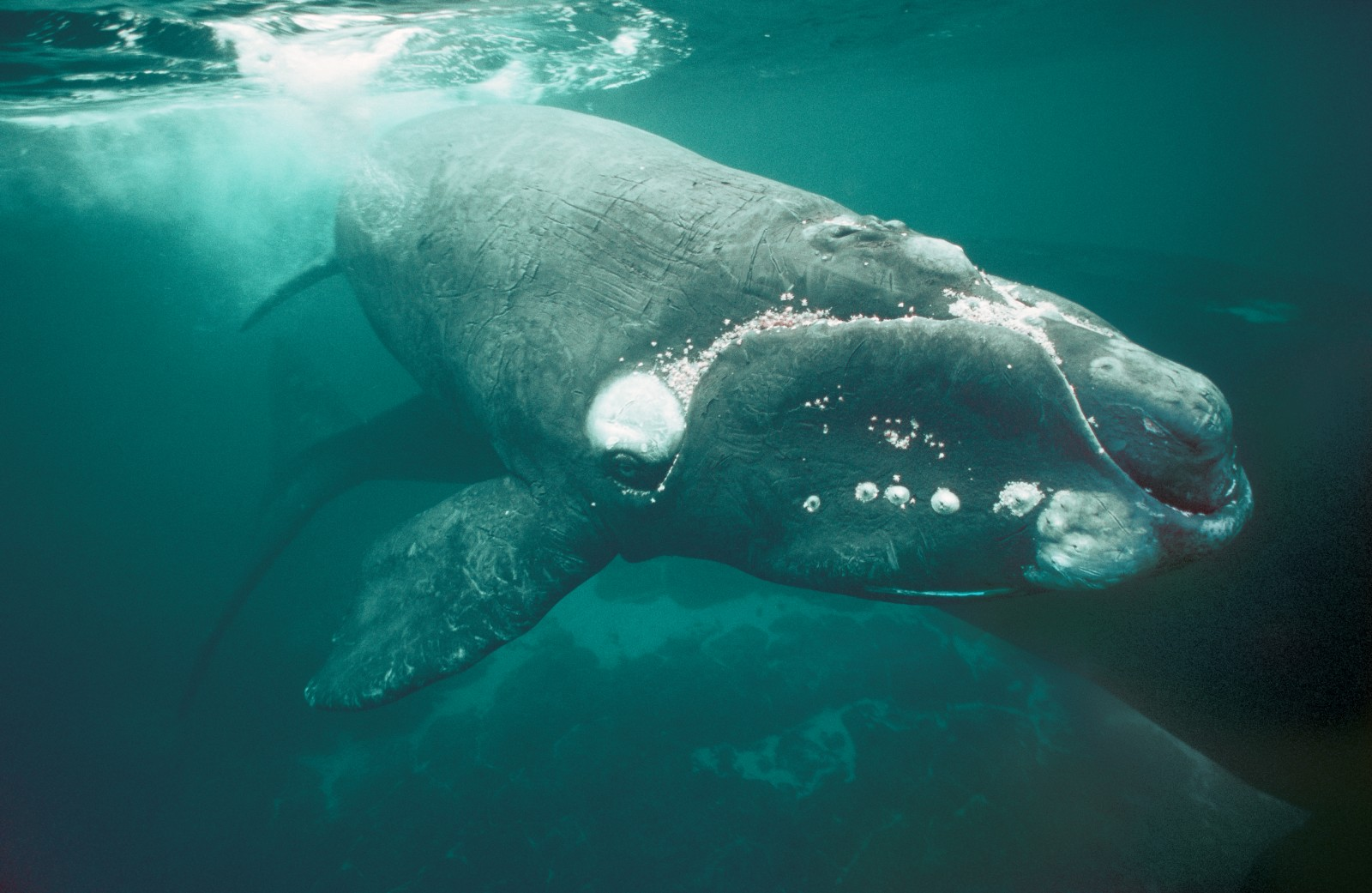 This right whale calf still has the wrinkled skin of the newborn, and also the inquisitiveness: it sawm within half a metre of the photographer. Calves are six metres long when born, and put on weight rapidly as they guzzle the protein-rich milk of their mother. Right whale pregnancies last 12 months, and females typically calve every three to five years.