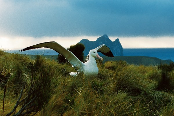 Neighbourhood watch: When was the last time you walked in the footsteps of an albatross? On Campbell Island, such experiences are an everyday occurrence, repeated with endless variations with the island's native citizens: southern royal albatross, yellow-eyed penguins and New Zealand sea lion (below).