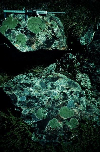 The humble lichen can provide clues to the timing of earthquakes. Following large quakes, many boulders are shaken down ready for colonisation by lichens. Because the size of lichen gives an accurate indication of its age, finding an usually large number of similar-sized individuals suggests the time an earthquake could have occurred.