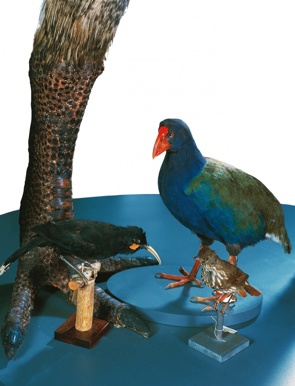 The company of has-beens to which takahe was assigned includes such notables as moa, piopio (a thrush-like songbird) and the scimitar-beaked huia. Takahe slipped through the net of extinction.