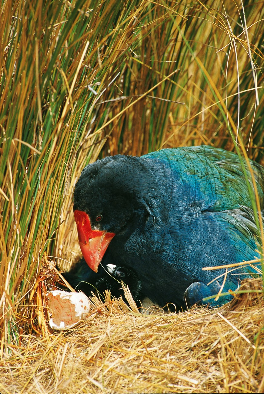 Like many endangered bird species, takahe have proven to be slow and ineffective breeders. Mating seems to take place very infrequently and then lasts for all of five seconds. While 70 per cent of Fiordland takahe eggs hatch, and young remain with their parents for over a year, mortality among chicks is distressingly high. The chances of these chicks surviving to their first birthday is less than one in five.