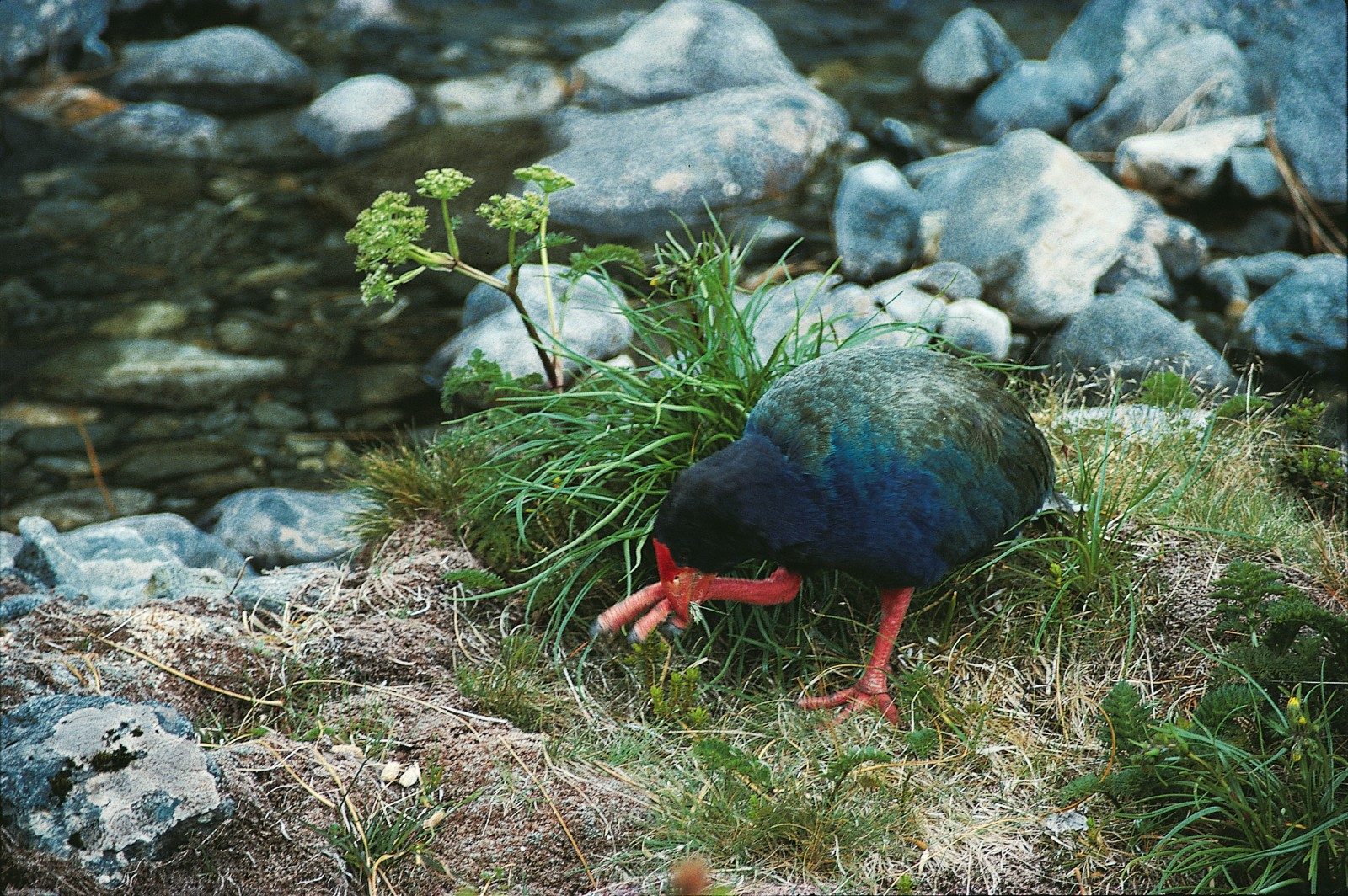 The bird then grasps the stem with a claw and bites off the more palatable lower parts. But even those portions are high in fibre and low in nutrients, so, like pandas chewing bamboo, takahe just have to keep on eating.