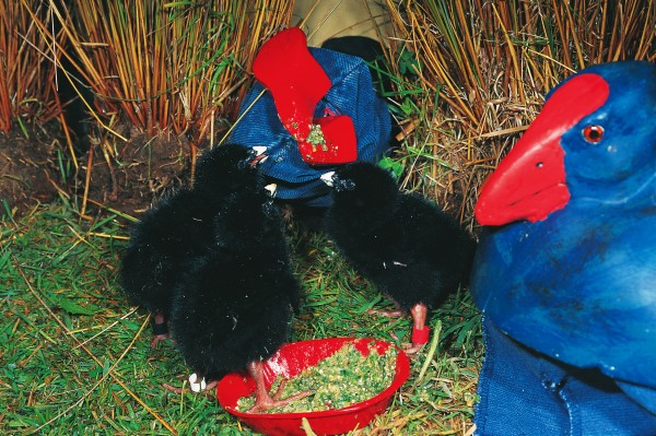 "Wild birds rarely succeed in raising more than a single chick, even if they have laid two or three eggs, so some of the ""surplus"" eggs are taken to the Burwood Bush Rearing Unit near Te Anau. To stop the hatchlings becoming attached to humans, takahe-shaped puppets and models are used to provide food and brooding for the chicks, which are eventually released back into the wild."