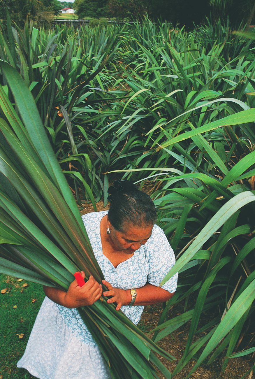 So important was flax to Maori that each pa or marae typically had its own pa harakeke or flax plantation. At Papakura Marae, where this tradition is still strong, Ope Heremaia, who came to New Zealand 40 years ago from the Cook Islands, cuts flax for a group of weavers who meet regularly to practise their craft.