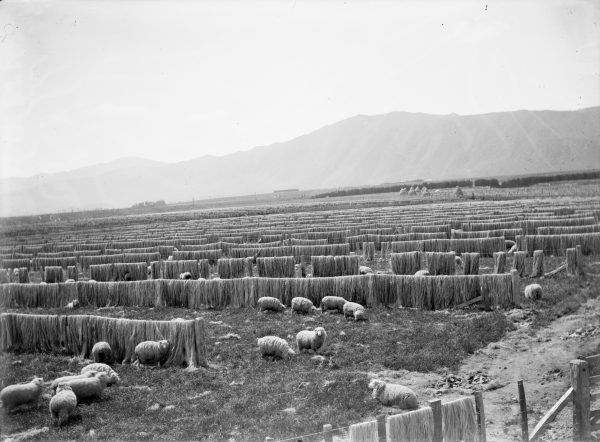 Once stripped, flax fibre was hung out to dry and bleach for a couple of weeks. At Miranui, the country's largest flax mill, near Foxton, this drying area covered 100 hectares. Dried fibre was scutched—mechanically beaten with wooden flails to polish the fibres—then baled for export, as here at Lake Ohia in Northland, 1915. Most flax fibre found its way into ropes.
