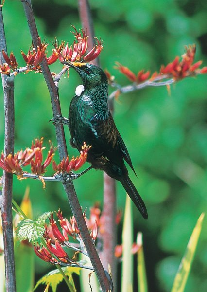 The copious nectar found within flax flowers, once taken by Maori as a sweetener and drink, is now enjoyed mainly by the tui and his friends, who pollinate the flowers while they delve.