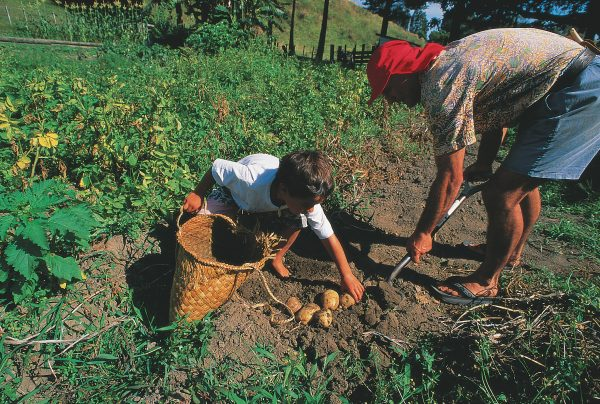The flax kit or kete is a container of a hundred uses. The one being used by Ken Barsdell and son Toi to hold vegetables from their fgarden at Ohiwa Harbour has a loose weave to allow the dirt to drop out. An experienced weaver can concoct a simple kit in about 20 minutes, should circumstance demand, for flax is almost always at hand
